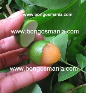 www.bongosmania.com